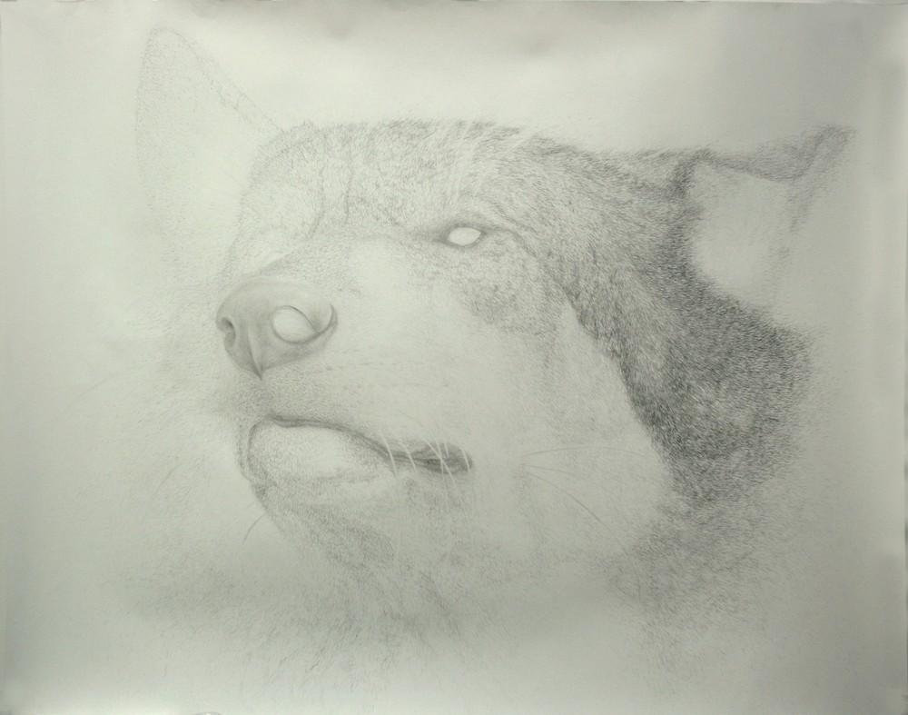 Random work from HENNI KITTI | ELÄIMISTÄ JA PIIRTÄMISESTÄ 2008 - 2011 ////////// ON ANIMALS AND DRAWING 2008 - 2011 | Nimetön (suden pää); 150 x 190 cm; pencil on paper; 2011